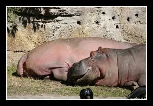 hippos1